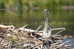 Heron At the Beaver Pond