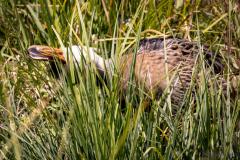 Heron At the Beaver Pond